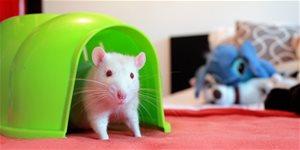 Jak chovat potkany