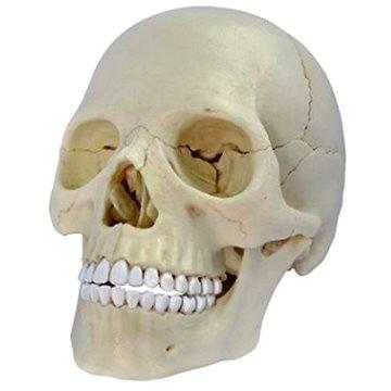 Anatomie člověka - lebka (4893409260863)